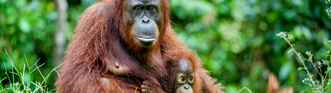 Die Orang-Utan Mama mit Kind im Arm ist das Titelbild vom Fotokurs Tierfotografie 1.