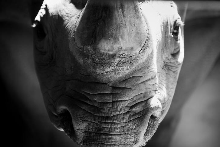 Frontalaufnahme vom Nashorn im seitlichen Streiflicht.